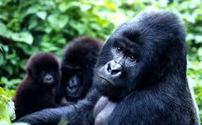 Gorilla by Mountain Gorilla Population Grows Wwf