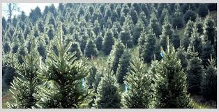 christmas tree farms in transylvania visit brevard nc