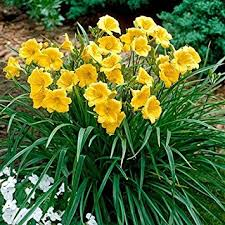 day lilies 25 bareroot stella d oros daylilies 1 2 fan