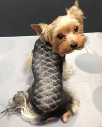 stunning yorkie hair cuts the 25 best yorkie hairstyles ideas on pinterest yorkie cuts