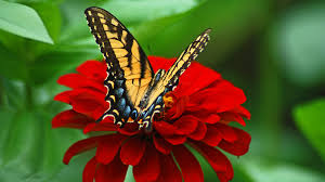 butterfly on the flower wallpapers