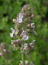 Catnip Flower - catnip nutrition facts and health benefits hb times