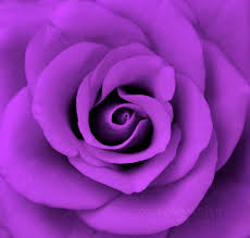 purple pictures wallpaper purple for free