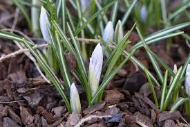 free photo crocus early bloomer bud end of winter garden max pixel