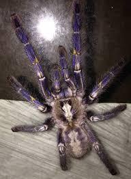 gooty sapphire ornamental tarantulas large