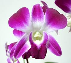 white dendrobium orchids two tone purple white dendrobium orchids dendrobium orchid