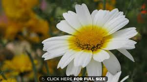 yellow daisy wallpapers daisy wallpapers photos and desktop backgrounds for mobile up to