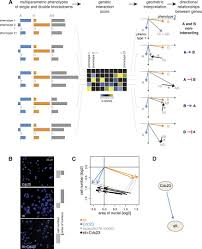 a map of directional genetic interactions in a metazoan cell elife