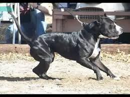 american pitbull terrier gray american pitbull terrier adba history youtube