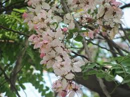 apple blossom tree