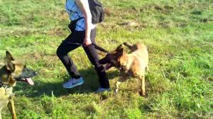 belgian shepherd dog for sale belgian malinois puppies for sale in massachusetts usa ditanna