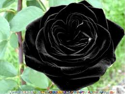 halloween black roses best 25 black rose picture ideas on pinterest black roses