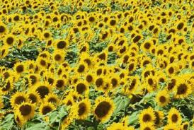do animals like sunflowers home guides sf gate