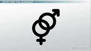 gonads definition u0026 function video u0026 lesson transcript study com