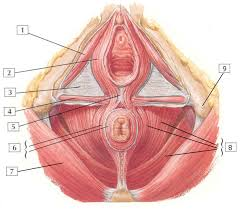 Female Anatomy Image Gross Anatomy