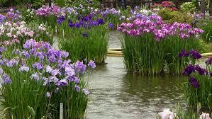 the japanese iris garden at tenmangu shrine dazaifu kyushu japan