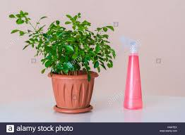 home plants hydration foliage home plants with a red sprayer stock photo
