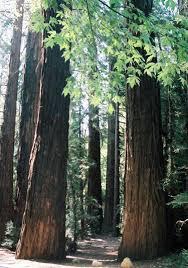 redwood trees in big sur california