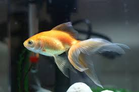 popular goldfish types and pictures tropical ornamental