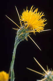 nevada native plants ecology of the sierra nevada wikipedia