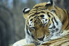 vilas zoo u0027s amur tiger cyber dies local news host madison com
