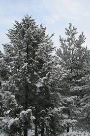 free images nature branch snow winter frost weather fir