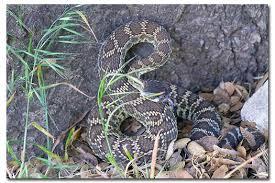 Snake Holes In Backyard How To Keep Rattlesnakes Away Desertusa