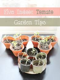 tomato gardening indoors amsterdam and beyond