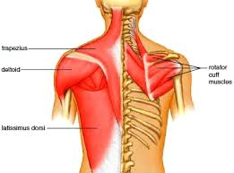 Shoulder And Arm Muscles Anatomy Muscles Of The Shoulder Muscles Of The Arm Muscles Of The Forearm