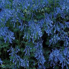 60 best blue flowers at my garden images on pinterest blue