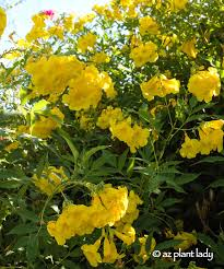 drought tolerant yellow bells for warm season color
