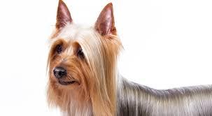 afghan hound kennel in australia silky terrier dog breed information american kennel club