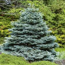 blue spruce trees albert colorado blue spruce trees buy at nature nursery