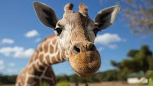 why do giraffes have such long necks science focus