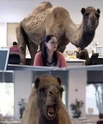 Hump Day Camel Meme - meme template search imgflip