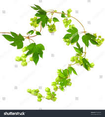 garden design garden design with hops plant twined vine young