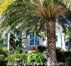sylvester date palm tree sylvester palm