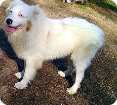 australian shepherd furever blanco adopted dog 0530 goldsboro nc australian shepherd