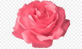 soft pink rose transparent png clip art image free transparent