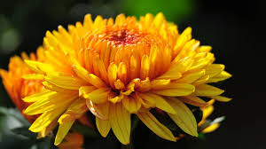 55 amazing chrysanthemum flower collection golfian com