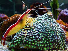 fact about the cleaner shrimp an outstanding choice for the home