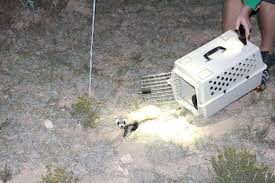 citizen scientists make arizona game and fish black footed ferrets
