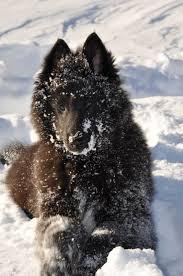 belgian sheepdog rescue adoption 7 best black belgian shepherd images on pinterest belgian