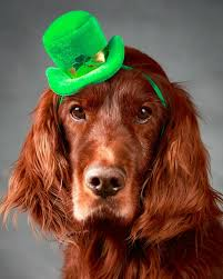 irish setter male dog names the top 10 st patrick s day dog names