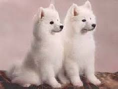 american eskimo dog toy for sale my american eskimo puppy american eskimo puppy and american