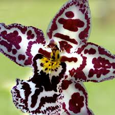 orchid flower orchid flower bloom photograph by c ribet
