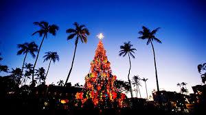 hawaiian christmas tree norfolk island pines are the tree of