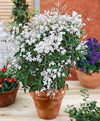 Fragrant Jasmine Plant - 24 best vines for containers climbing plants for pots balcony