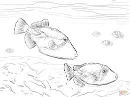 reef triggerfish coloring page free printable coloring pages