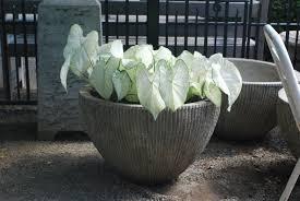 white caladiums dirt simple